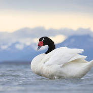 Cygne à cou noir - Black-necked swan