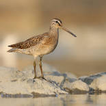 Bécassin roux  -  Short-billed dowitcher