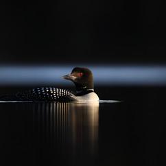 Plongeon huard - Common loonPlongeon huard - Common loon