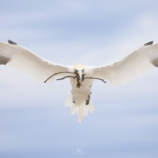 Fou de Bassan - Northern gannet