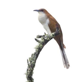 Coulicou à bec noir - Black-billed cuckoo