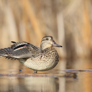 Sarcelle d'hiver  -  Common teal
