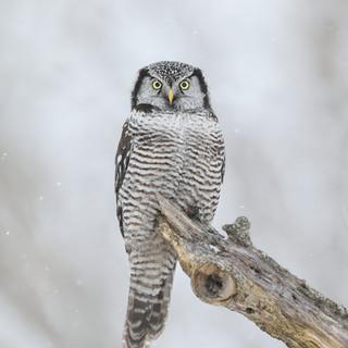 Chouette épervière - Northern hawk-owlChouette épervière - Northern hawk-owl