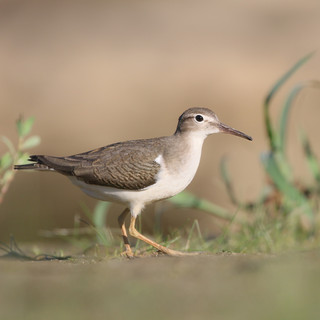 Chevalier grivelé  -  Spotted sandpiper
