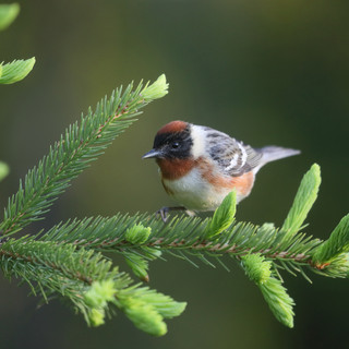 Paruline à poitrine baie - Bay-breasted Warbler