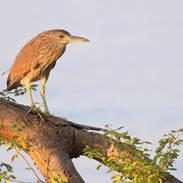 Bihoreau gris - Black-crowned Night-heron