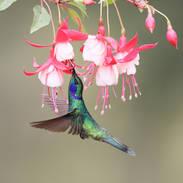 Colibri cyanote  - Lesser violetear - Colibri cyanotus