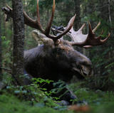 Orignal - Moose ♂