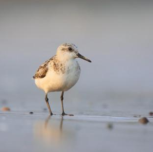 Bécasseau sanderling - Sanderling