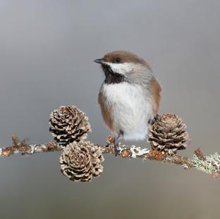 Mésange à tête brune - Boreal chickadee