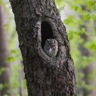 Petit-duc maculé - Eastern screech owl