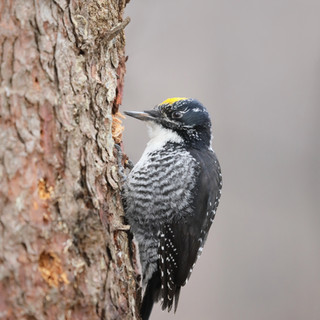 ​Pic à dos rayé - Three-toed woodpecker