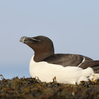 Petit pingouin - Razorbill