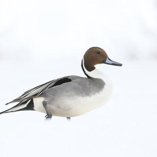 Canard pilet - Northern pintail