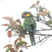 Conure à joues d'or -Yellow-eared parrot - Ognorhynchus icterotis