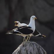Kelp Gull - Goéland dominicain - Larus dominicanus