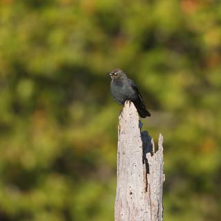 Quiscale rouilleux - Rusty blackbird