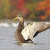 Canard noir  -  Black duck