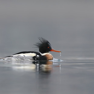 Harle huppé - Red-breasted merganser