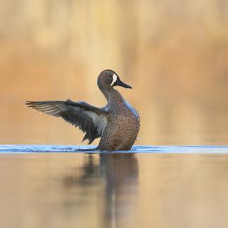 Sarcelle à ailes bleues -Blue-winged teal