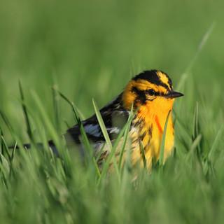 Paruline a gorge noir - Black-throated Green Warbler