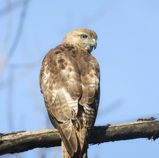 Buse à queue rousse - Red-tailed hawk