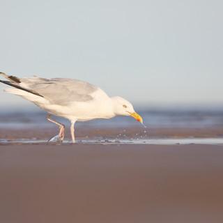 Goéland argenté - Herring gull