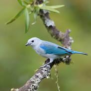 Tangara évêque - Blue-gray tanager - Thraupis episcopus