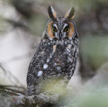 Hibou moyen-duc - Long-eared Owl