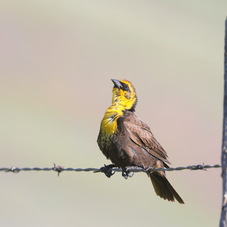 Carouge à tête jaune -Black-headed blackbird -Xanthocephalus xanthocephalus