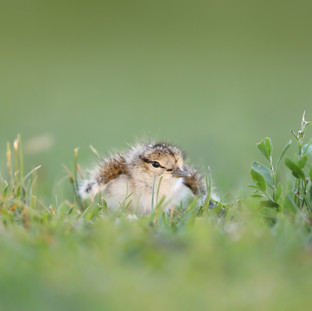 Chevalier grivelé  -  Spotted sandpiper