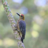 Pic de Lewis - Lewis's woodpecker