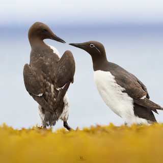 Guillemot marmette - Common murre