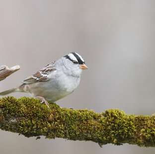 Bruant à couronne blanche - White-crowned sparrow