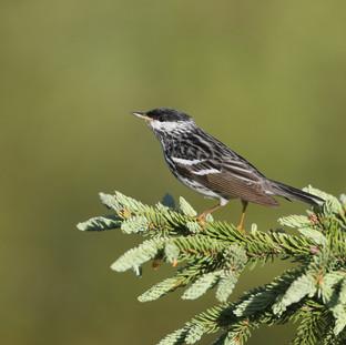 Paruline rayée - Blackpoll Warbler