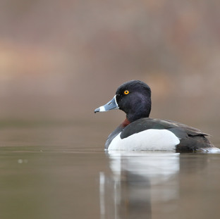 Fuligule à collier - Ring-necked duck