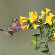 Colibri moucheté - Speckled hummingbird - Adelomyia melanogenys