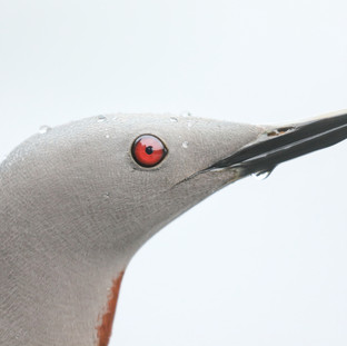 Plongeon catmarin - Red-throated loon -Gavia stellata