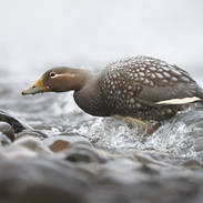Brassemer de Patagonie - Flying steamer duck