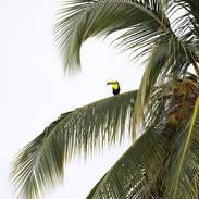 Toucan à carène - Keel-billed toucan - Ramphastos sulfuratus