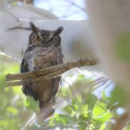 Grand-duc de Magellanie - Magellanic horned owl