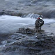 Merganette des torrents - Torrent duck