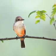 Moucherolle vermillon - Vermilion Flycatcher - Pyrocephalus obscurus