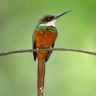 Jacamar à queue rousse - Rufous-tailed jacamar - Galbula ruficauda