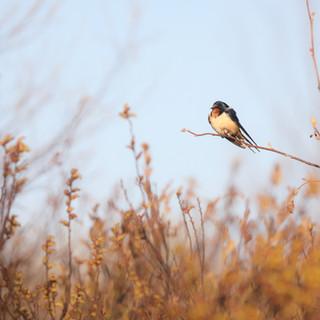 Hirondelle rustique - Barn Swallow - Hirundo rustica