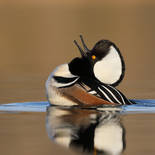 Harle couronné - Hooded merganser