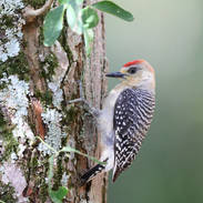 Pic à couronne rouge - Red-crowned woodpecker - Melanerpes rubricapillus