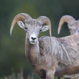 Bighorn sheep - Mouflon canadien
