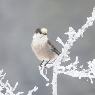 Mésangeai du Canada  -  Gray jay