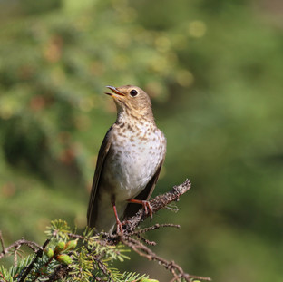 Grive à dos olive - Swainson's thrush